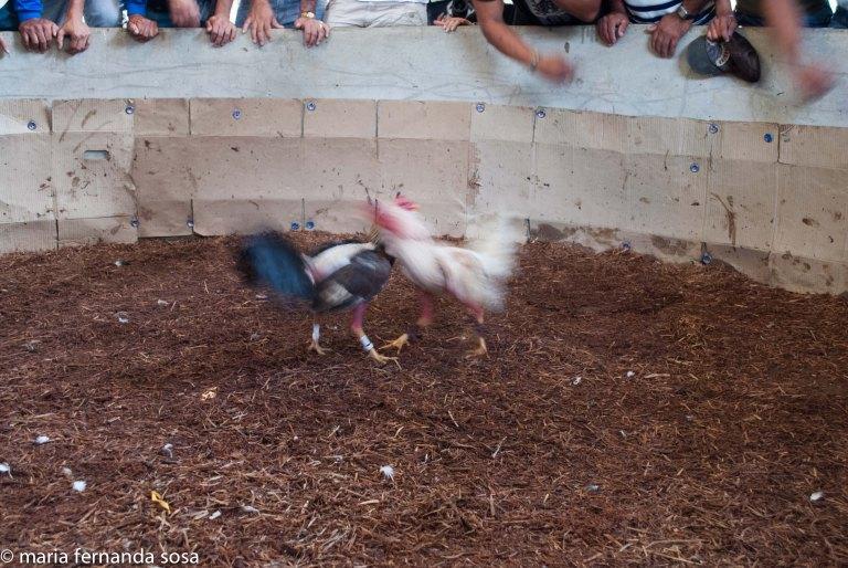 gallos-13